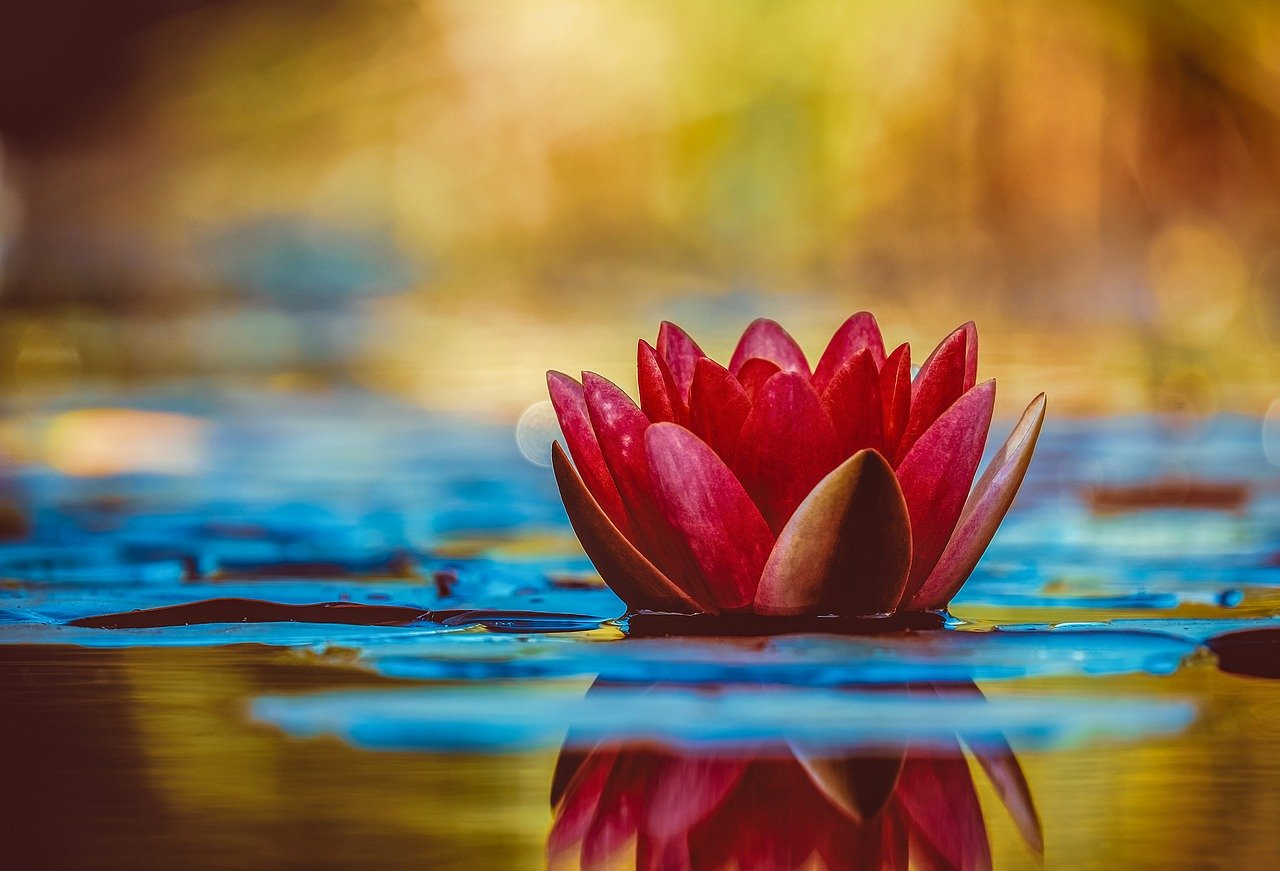 Image by Coleur: https://pixabay.com/photos/water-lily-aquatic-plant-flower-3784022/